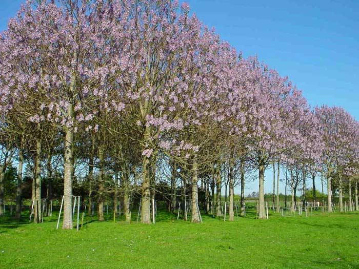 Paulownia, plopul şi salcia energetică nu vor mai putea fi cultivate decât pe terenuri proaste